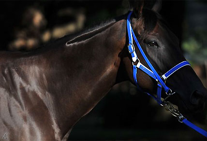 Black Caviar - breeding barn bound, but for glory?