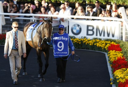 Black Caviar is led around the Theatre of Horses before Race 9 at Derby Day Randwick. (Photo: Paul Barkley/LookPro)